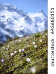 Small photo of Alpen trip mountainside vista of rock summit plateau scene. Sunlight scenery view with space for text on high bright blue crag mount backdrop. Light purple color first Croci on glade slope
