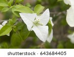 Bougainvillea White Is A Genus...