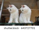 Stock photo white british kittens 643727701