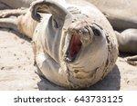 Juvenile Northern Elephant Sea...