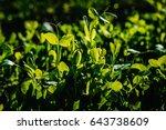 Fresh Young Green Pea Plants I...