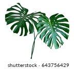 green leaf of a tropical flower ... | Shutterstock . vector #643756429