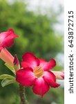 Small photo of Desert rose ( Adenium obesum )