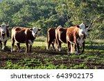 cows in the australian highlands | Shutterstock . vector #643902175