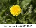 the blooming dandelion  spring  ... | Shutterstock . vector #643999015