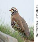 Small photo of Partridge (Alectoris rufa).