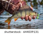 fishing on jig. large striped... | Shutterstock . vector #644039131