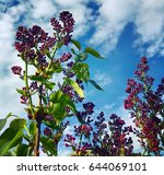 blooming lilac. spring...   Shutterstock . vector #644069101