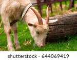 Goat Eats Grass Near The Tree