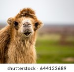 Portrait Of Camel On Nature In...
