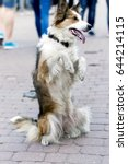 Small photo of A trained dog stands on a city street.It is standing on its hind legs and stand bunny.