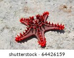Red Knobbed Starfish Close Up
