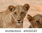 young lion | Shutterstock . vector #64426165