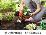 gardener planting flowers in...   Shutterstock . vector #644335381