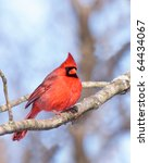 Male Cardinal Nestled In The...