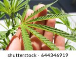 Cannabis Leaf In Palm Of Hand...