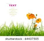 beautiful yellow flower  cosmos ... | Shutterstock . vector #64437505