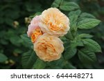 beautiful yellow  pink  and... | Shutterstock . vector #644448271