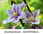 purple  and white clematis... | Shutterstock . vector #644493811