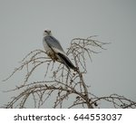 A Mississippi Kite Perched In A ...