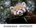 Small photo of Western red panda (Ailurus fulgens fulgens), also known as the Nepalese red panda.