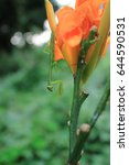Small photo of Mantis to ambush in lily flowers upside down?in Japan