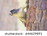 Wild Sherman\'s Fox Squirrel ...