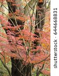 Small photo of Red Autumnal leaves of maple trees, Acer palmatum.