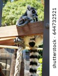 Small photo of Ring-tailed lemur bachelor showing consideration and curiosity (funny pose) in Taronga zoo