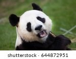 giant panda  ailuropoda...   Shutterstock . vector #644872951