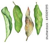 green leaf of mango watercolor... | Shutterstock . vector #645009595