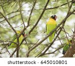 Small photo of Wild Yellow-collared Lovebirds (Agapornis personatus) Perched in a Tree in Northern Tanzania