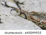 Small photo of leopard snake - Zamenis situla, Croatia