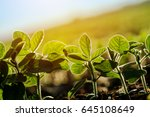 cultivated soybean furrow ... | Shutterstock . vector #645108649