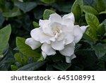 Gardenia Augusta In Flower