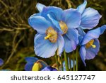 Large Flowers Of Meconopsis...