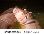 Chill Out Hippopotamus In Water