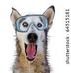 a husky wolf dog with scuba...   Shutterstock . vector #64515181