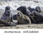 Wild Grey Seal Colony On The...