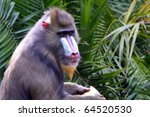 Side View Of A Mandrill. ...