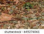 Small photo of Juvenile Central American Ameiva