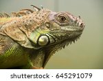 green iguana   iguana iguana | Shutterstock . vector #645291079
