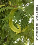 Small photo of Green Mesquite Seed Pods or Prosopis Fabaceae Legumes