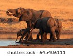 Small photo of The african bush elephant (Loxodonta africana) group of the elephants by the waterhole at sunset