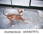 Portrait Of Italian Greyhound ...