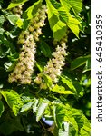 Small photo of Blossoming branches of chestnut tree (Aesculus hippocastanum)