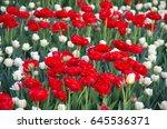 beautiful red tulips | Shutterstock . vector #645536371