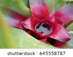 neoregelia carolinae or...   Shutterstock . vector #645558787