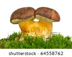 Small photo of Pair of adnate boletus badius mushrooms on the green moss isolated on the white background