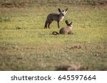 two bat eared foxes in the... | Shutterstock . vector #645597664